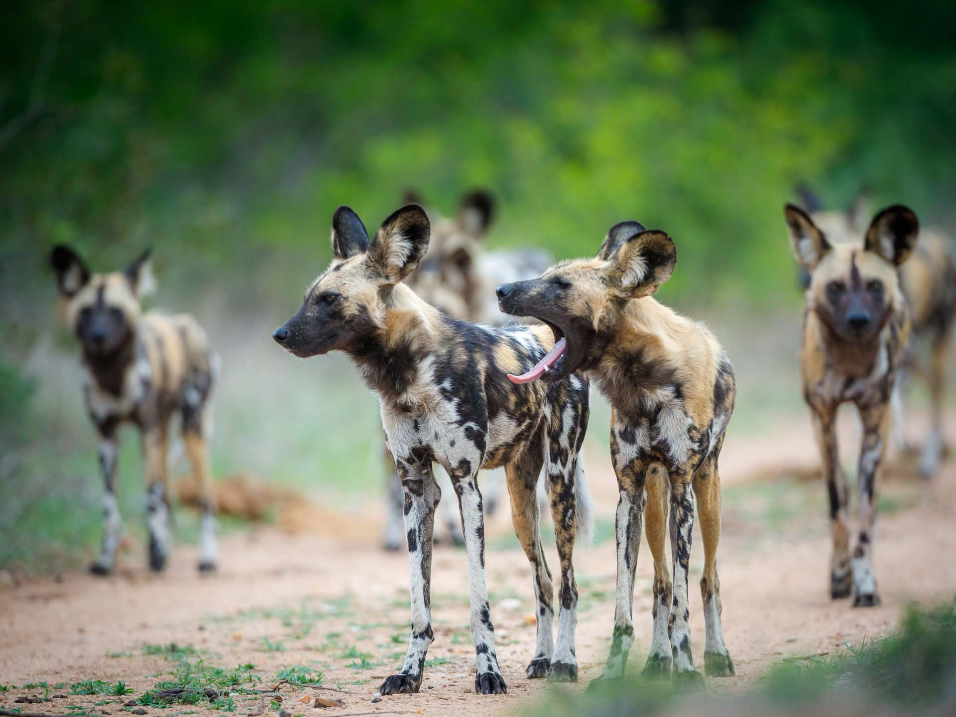 Tanda Tula - wild dogs on the hunt in the Greater Kruger