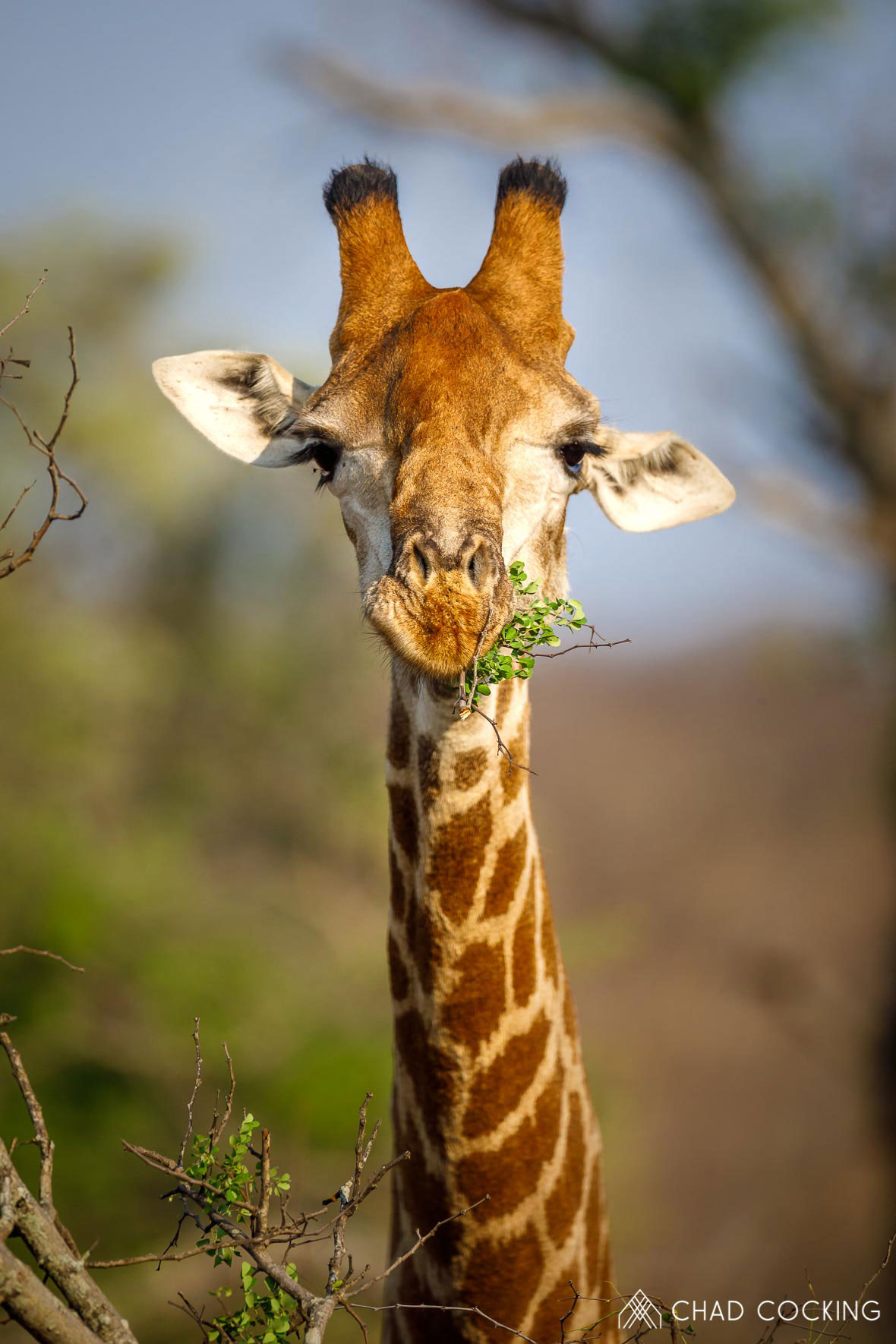 Tanda Tula - Giraffe feeding in the Greater Kruger, South Africa
