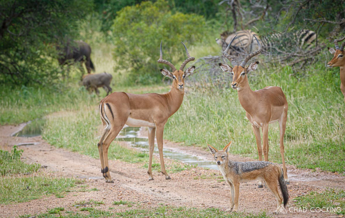Tanda Tula - impala's in the Greater Kruger