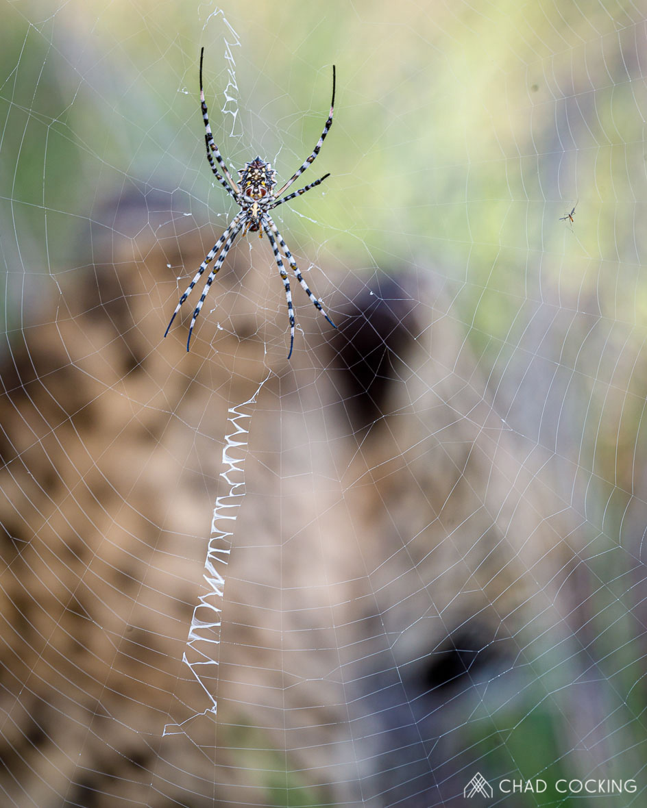 Tanda Tula - Garden ord web spider in the Greater Kruger