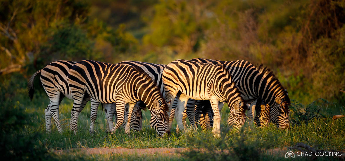 Tanda Tula - grazing zebras in the Greater Kruger
