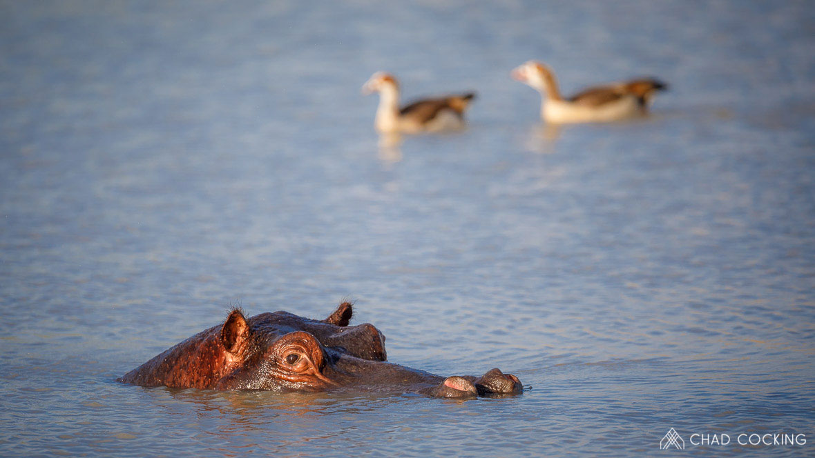 Tanda Tula - hippo and geese in the Greater Kruger