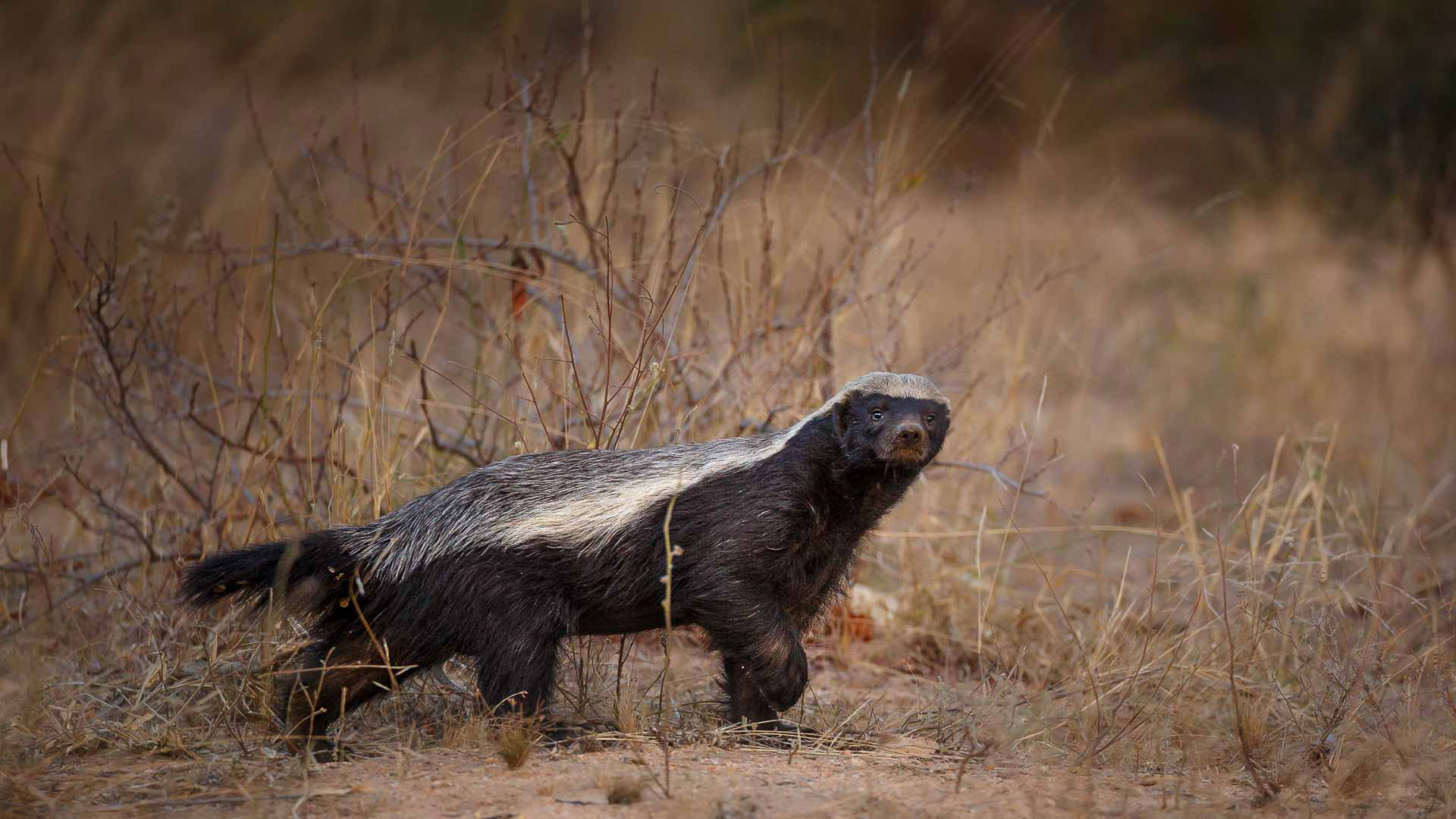 Tanda Tula - honey badger on the move in the Greater Kruger, South Africa