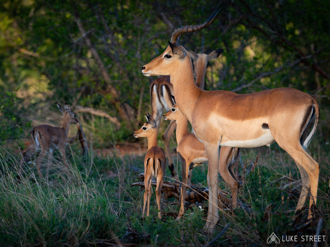 Tanda Tula - Impala in the Greater Kruger, South Africa