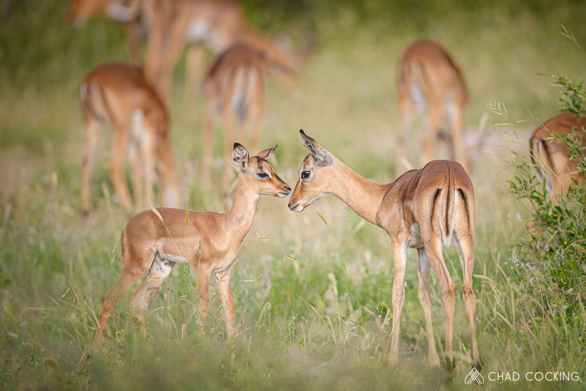 Tanda Tula - impala lambs in the Greater Kruger, South africa