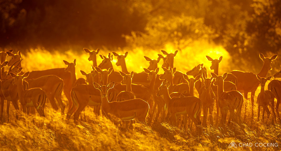 Tanda Tula - impala sunrise in the Greater Kruger, South Africa