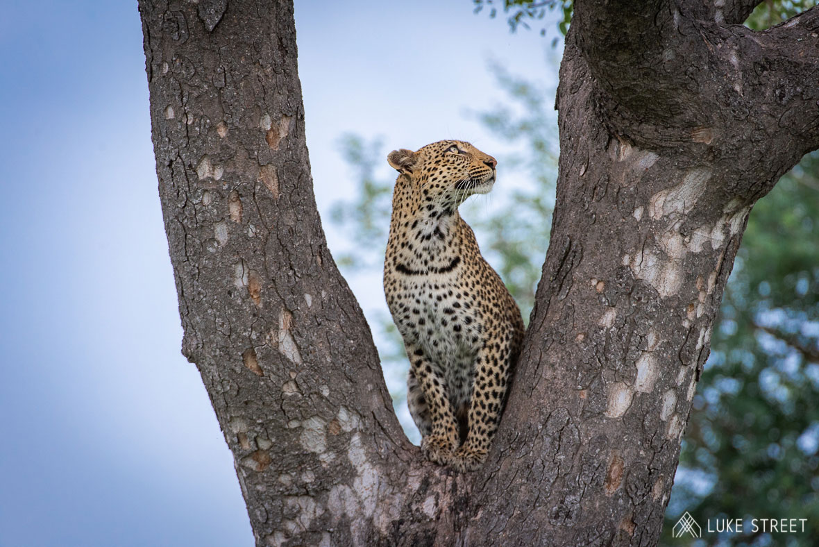 Tanda Tula - Marula in the Marula tree in the Greater Kruger