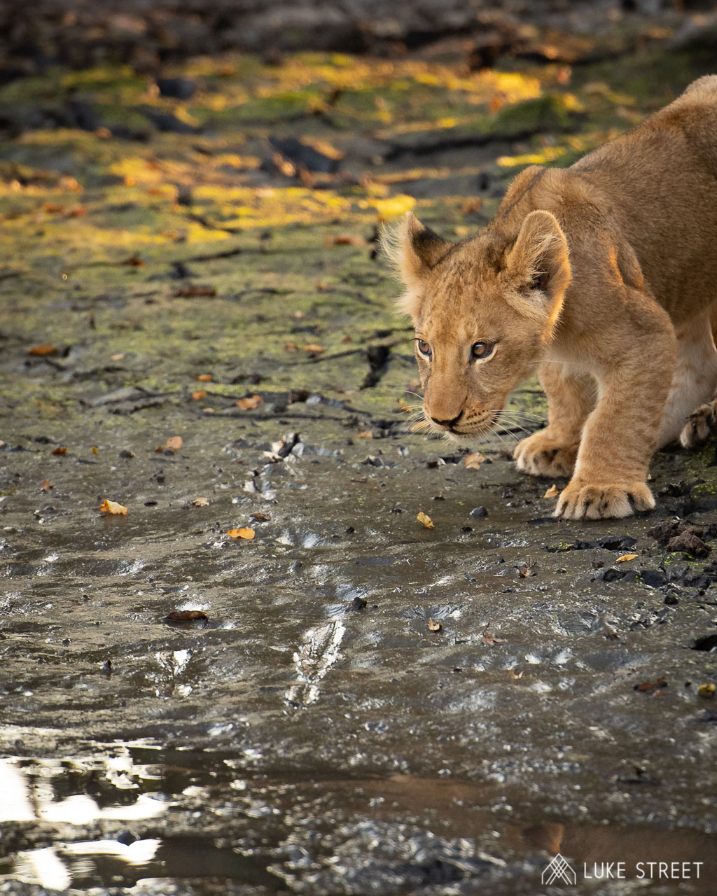 Tanda Tula - lion cub drinking water in the Greater Kruger