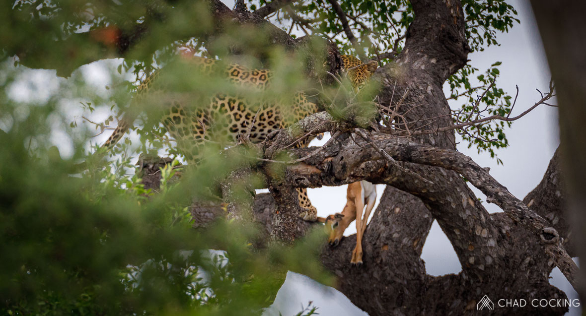 Tanda-Tula sighting of nervous male leopard with kill