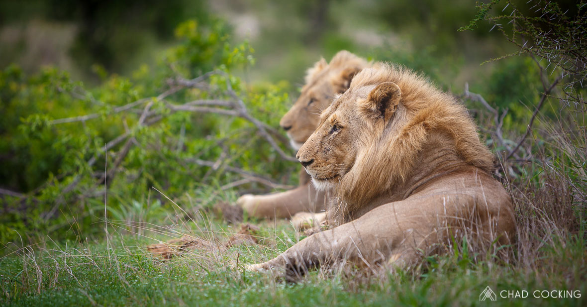Tanda Tula - male lions in the Greater Kruger