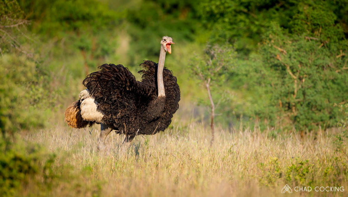 Tanda Tula - ostrich spotted in the Timbavati