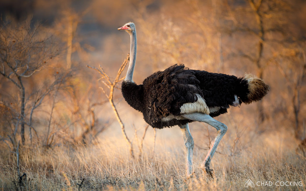 Tanda-Tula ostrich, Greater Kruger