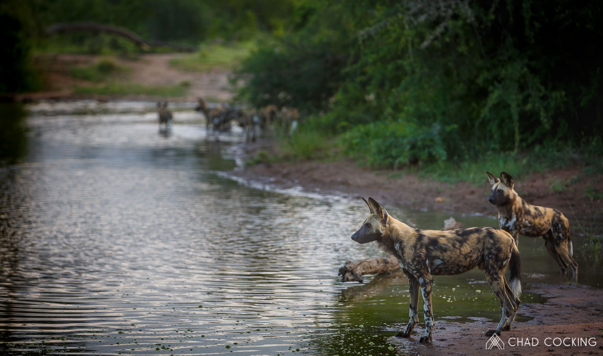 Tanda Tula - pack of wild dogs in the Greater Kruger