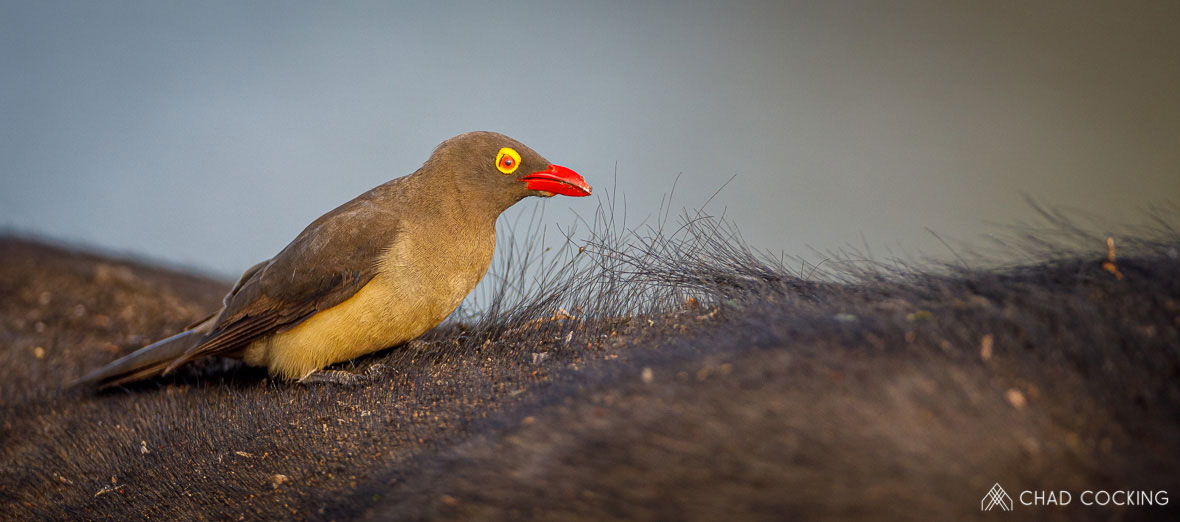 Tanda Tula - Red billed oxpecker in the Greater Kruger