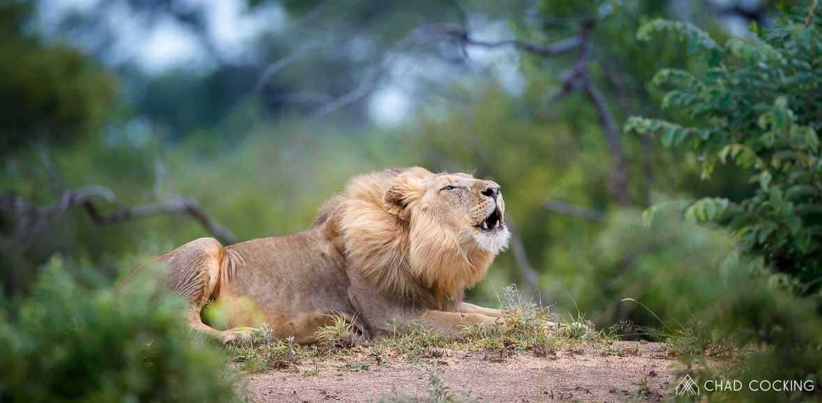 Tanda Tula - roaring male lion in the Greater Kruger
