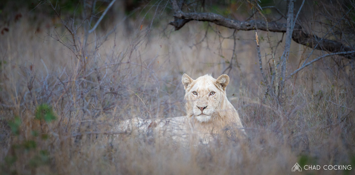 Tanda Tula - white lion in South Africa