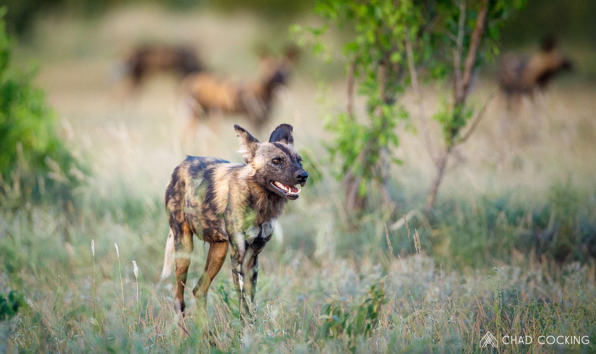 Tanda Tula - wild dog in the Greater Kruger