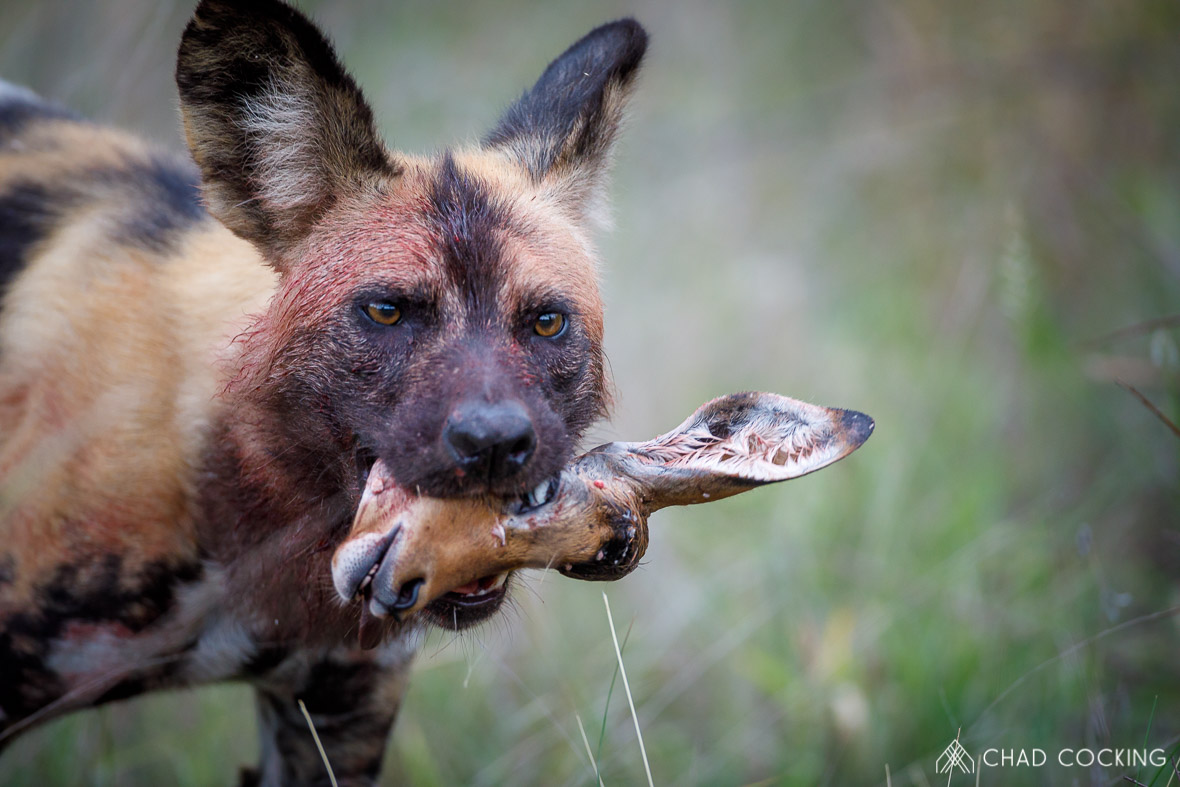 Tanda-Tula wild dog with kill, Greater Kruger