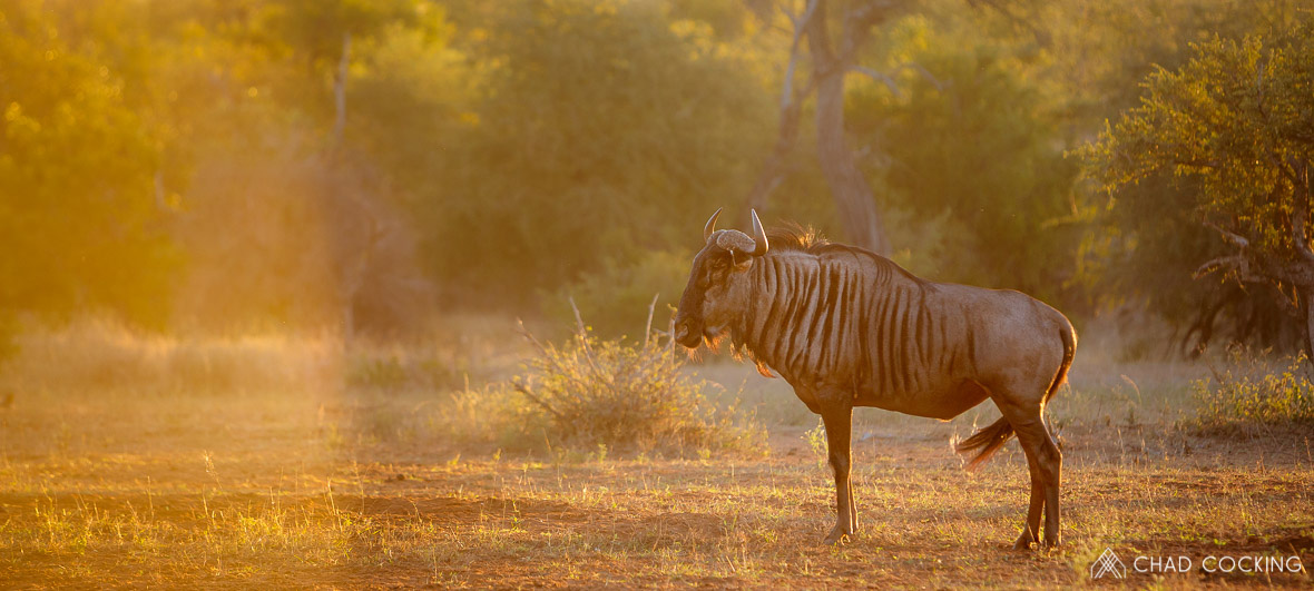 Tanda Tula - A wildebeest at golden hour