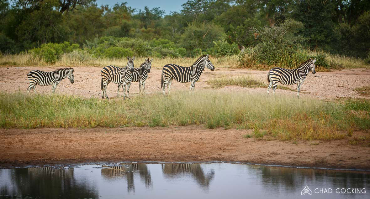 Tanda Tula - zebra herd reflections in the Greater Kruger