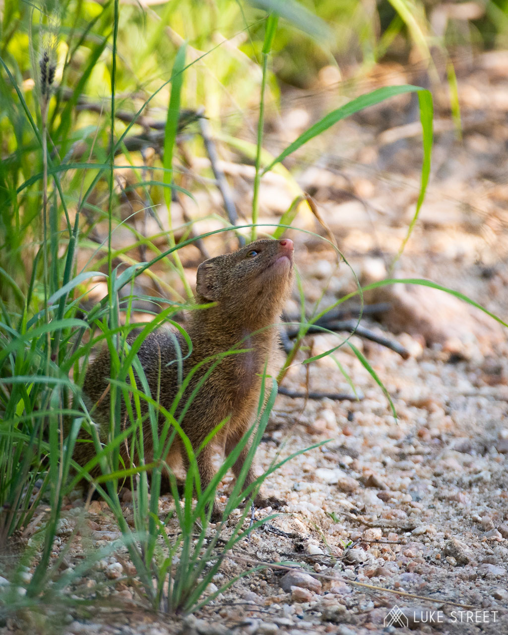 Tanda Tula - baby mongoose in the Greater Kruger