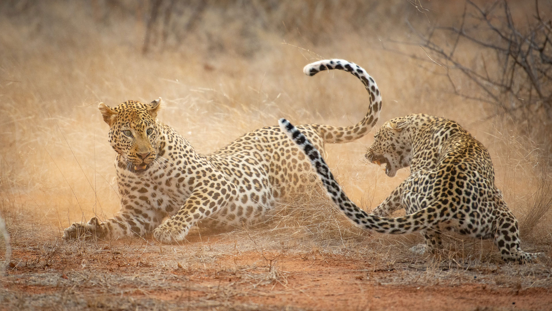 Tanda Tula - leopard fight in the Greater Kruger, South Africa