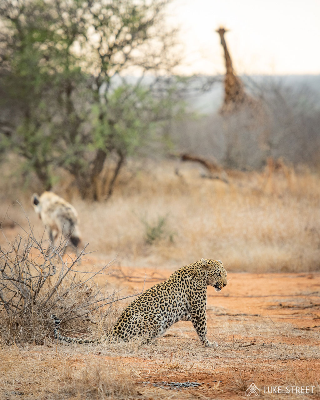 Tanda Tula - male leopard with giraffe and hyena in the background