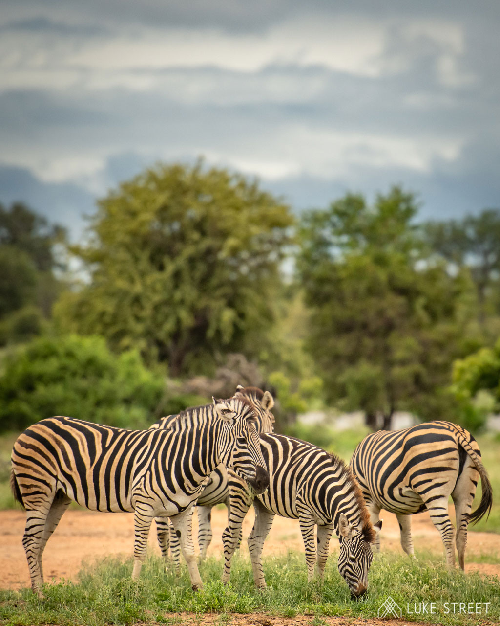 Tanda Tula - zebras eating grass in the Greater Kruger