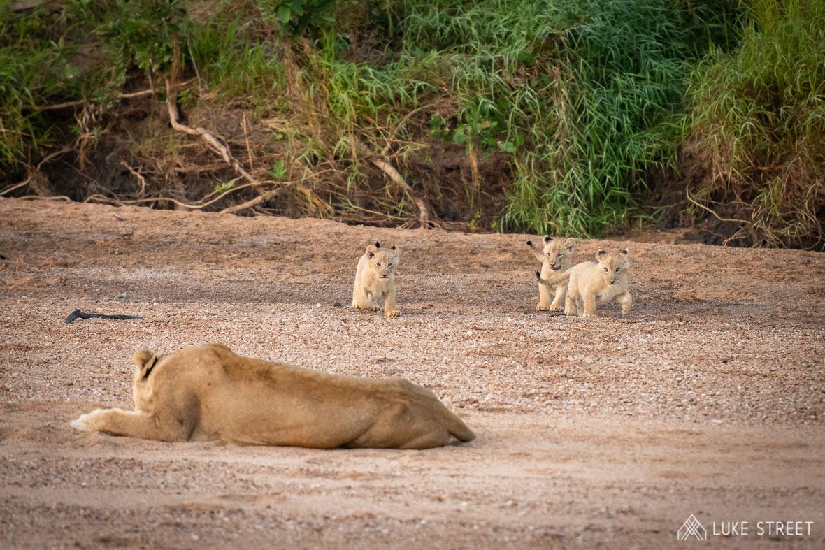Tanda Tula - River Pride lion cubs in the Greater Kruger