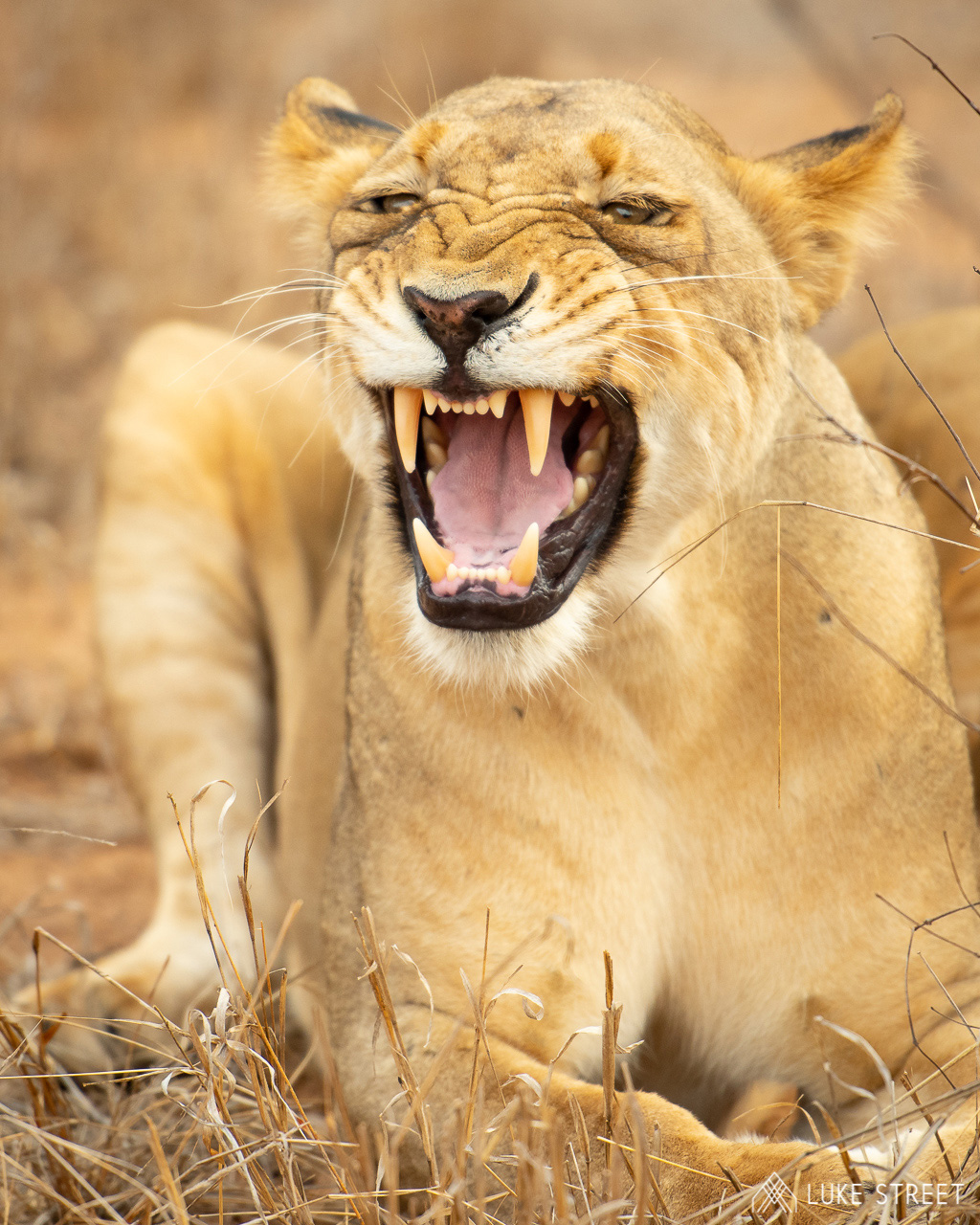 Tanda Tula - River Pride snarl in the Greater Kruger, South Africa