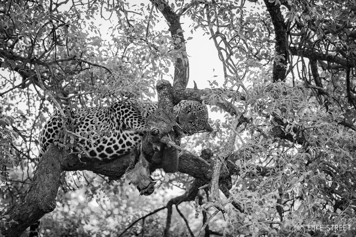 Tanda Tula - leopard kill in the Greater Kruger