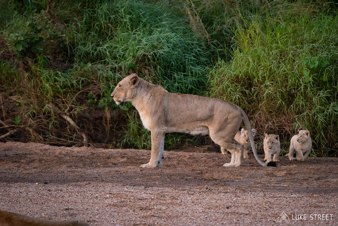 Tanda Tula - River Pride lioness cubs in the Timbavati, South Africa